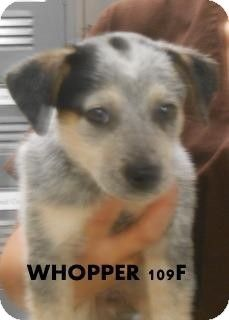 Ocala, FL - Australian Cattle Dog Mix. Meet Whopper a Puppy for Adoption.