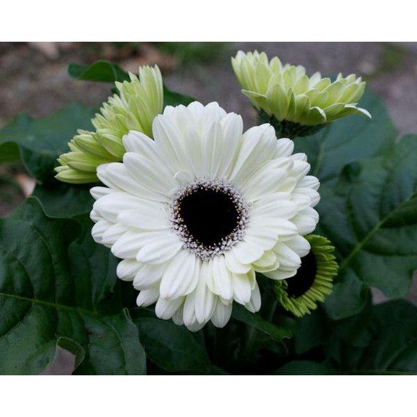 White Flower Gerbera Daisy Black Center Dark Green Leaves Three Just ...