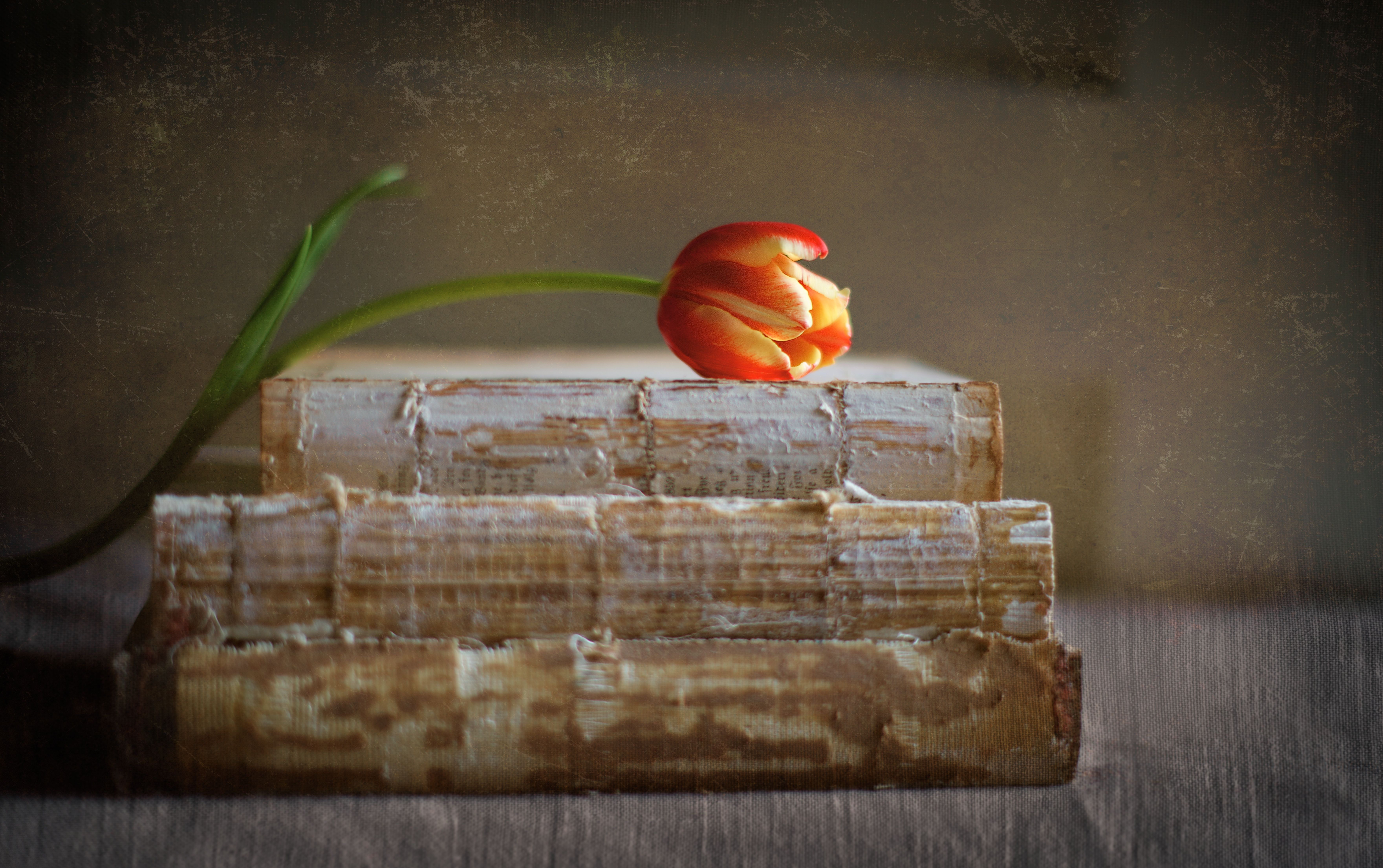tulip phtography