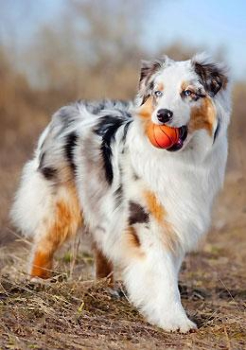 Berger Australien Hunde Babyhunde Aussie Welpen