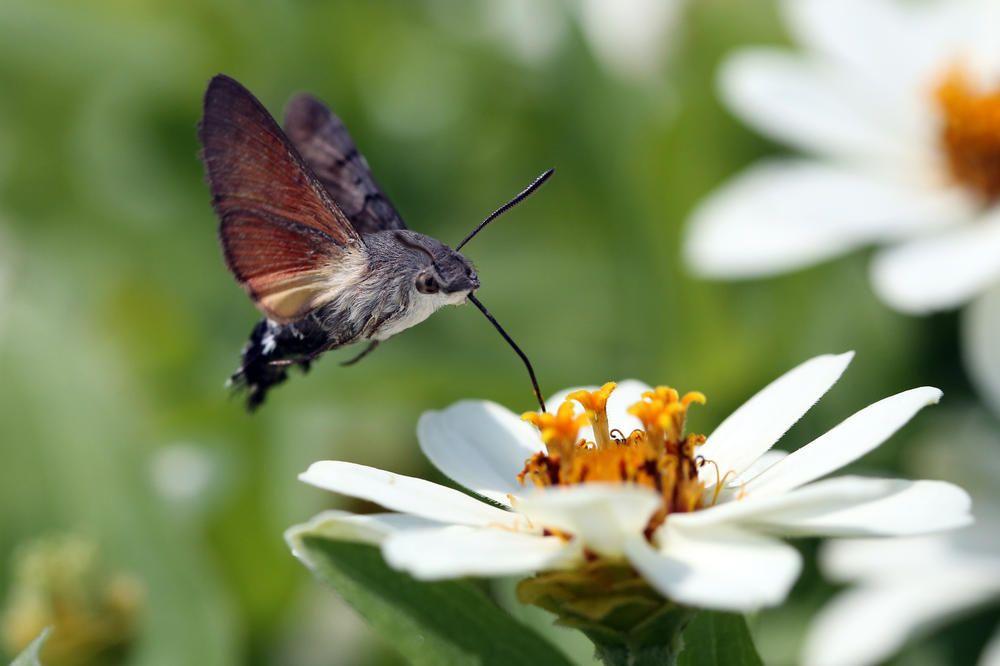 Schmetterlinge Bilden Eine Der Grossten Ordnungen Innerhalb Der Insekten Und Sind Wahre Meister Der Anpassung Hier Erfahren Insects Hummingbird Moth Hawk Moth