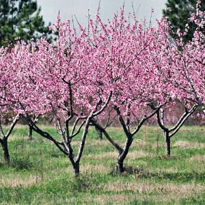 It S Interesting What You Remember During A Traumatic Time In Your Life Blooming Peach Trees Were The First Thing I No Peach Trees Fruit Trees Peach Blossoms