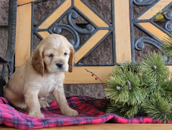 Parker Cocker Spaniel Puppy For Sale In Honey Brook Pa Lancaster Puppies With Images Spaniel Puppies For Sale Lancaster Puppies Cocker Spaniel Puppies