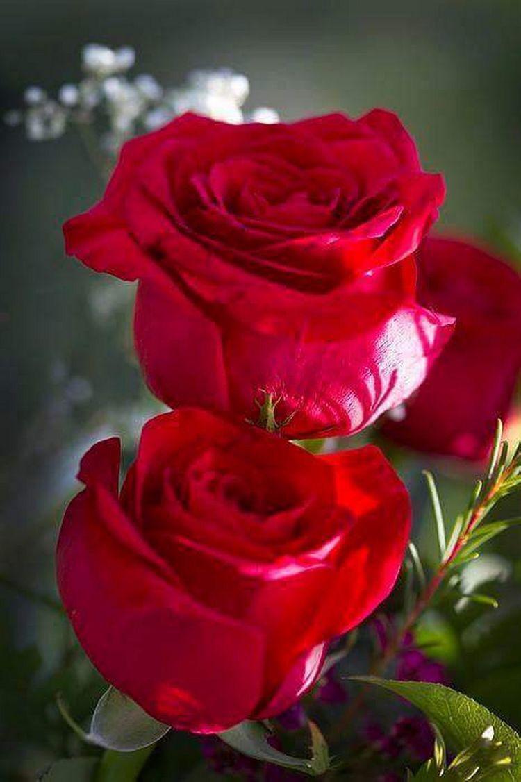 Pin by AMPARO LAHIGUERA on Güllerim   Beautiful rose flowers, Beautiful flowers, Beautiful roses