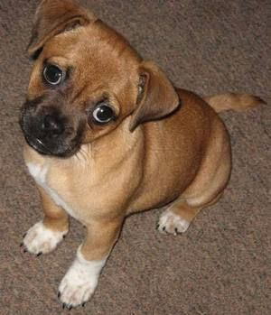 Pug Jack Russel Mix Called A Jug Mix Bahaha Cute Cute
