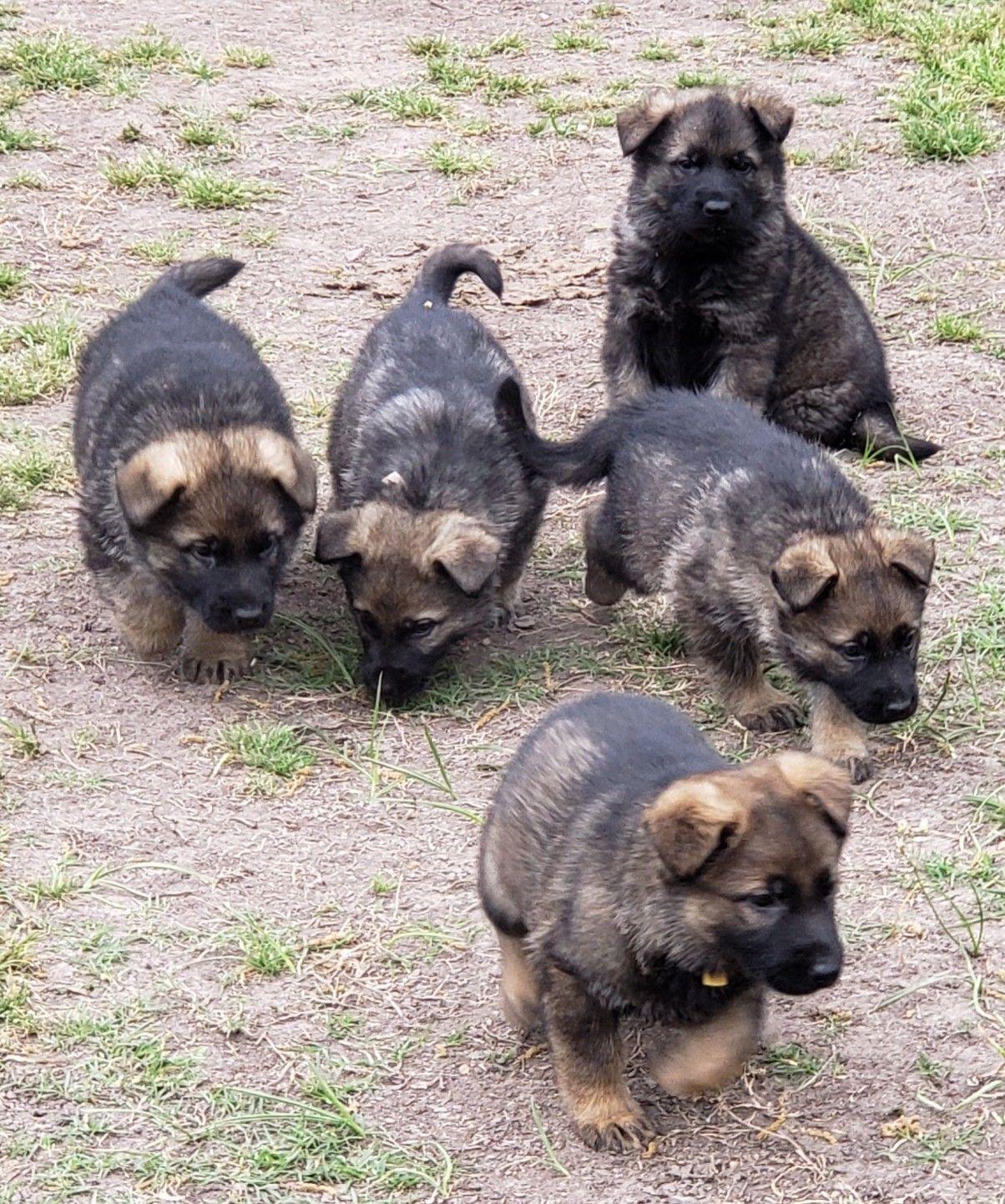 Ddr German Shepherd Litter Plush And Short Coats Dark Sable Akc