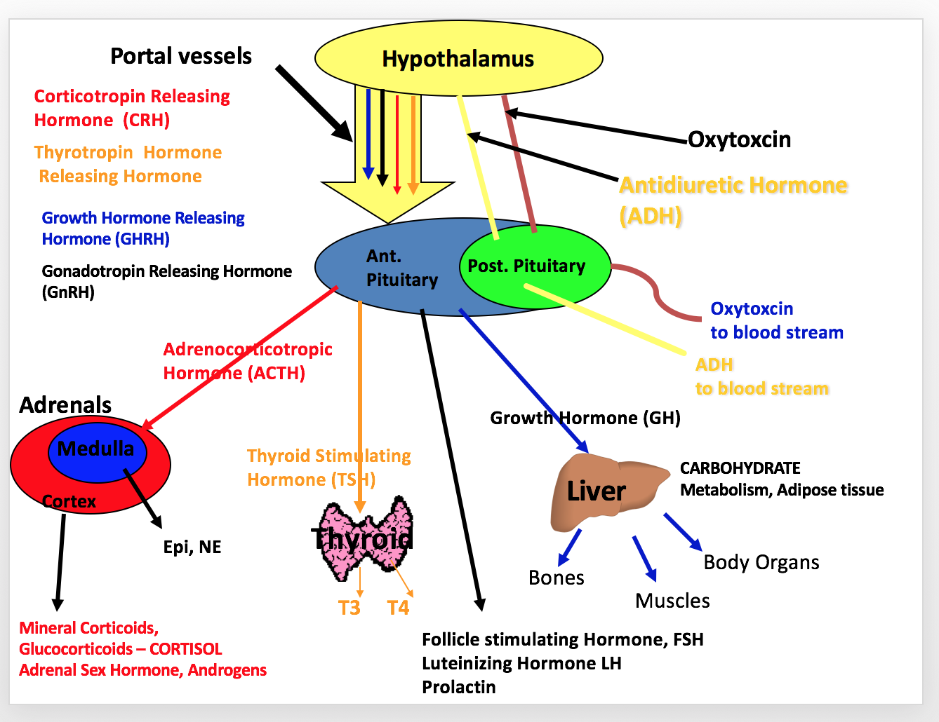 Endocrine System With Images