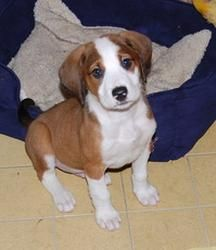 Adopt Halo On Beagle Dog Beagle Dog Corner