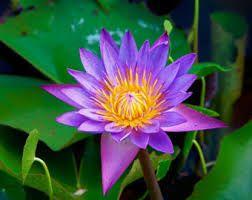 Resultado de imagem para Lilac lotus flowers