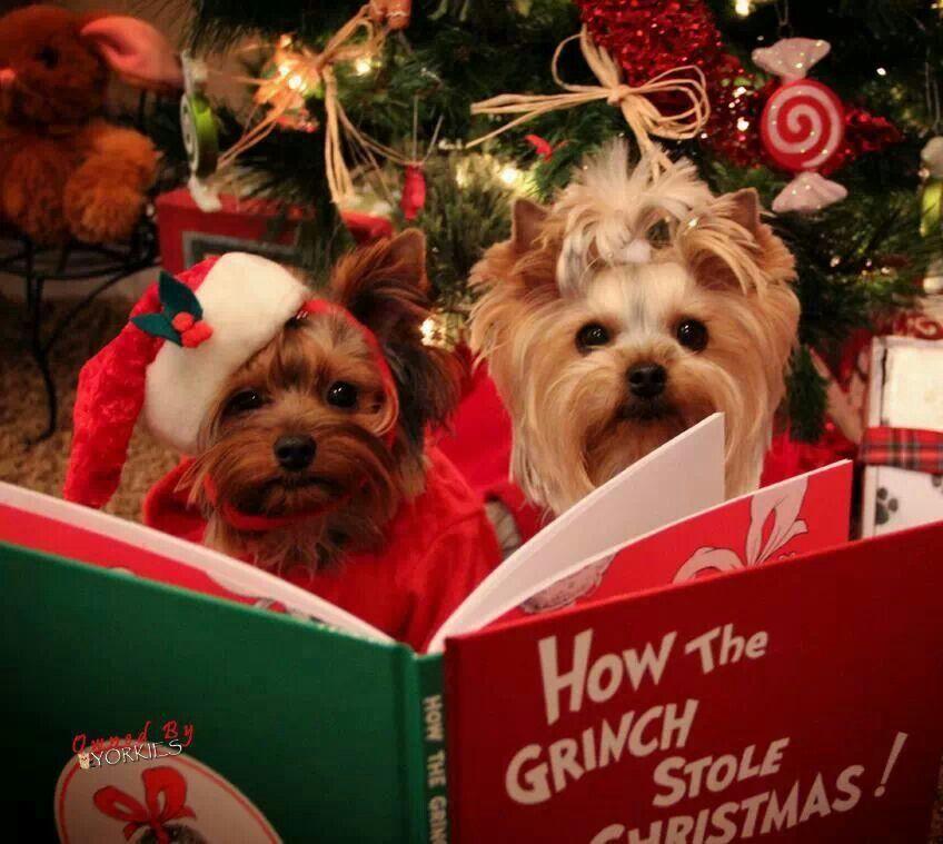 Yorkie Christmas Reading | I ♡ Yorkies | Pinterest