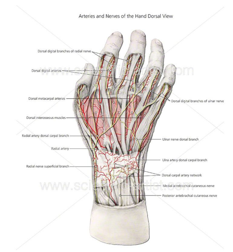 Hand anatomy | Joanna Culley | Pinterest | Hand anatomy, Medical ...