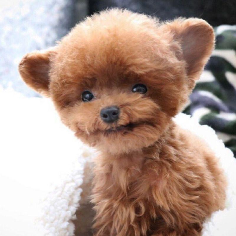 Tiny Dog Named Bibi Shasha Is The Most Precious Living Teddy Bear
