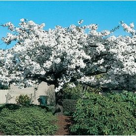 5 5 Gallon Pink Kwanzan Flowering Cherry Flowering Tree In Pot L1023 Lowes Com Flowering Cherry Tree Potted Trees Flowering Trees