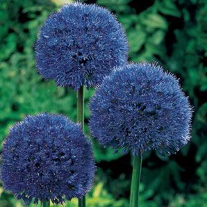 Persian Blue Allium. Bought from Brecks and planted in fall 2013. They came up beautifully in spring 2014. Bloomed in early May.
