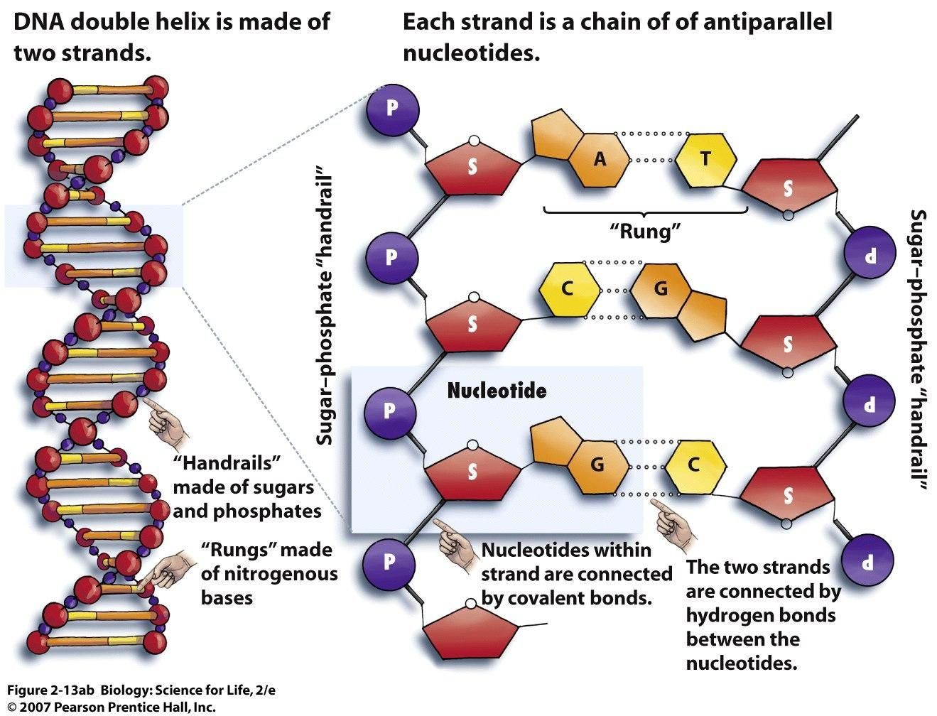 Dna Structure Bing Images Dna Diagram Physiology