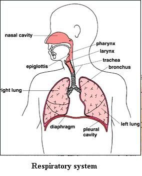 Respiratory system chronic pain pinterest respiratory system things to do read the respiratory system or read about lungs and breathing try the respiratory system match d ccuart Image collections