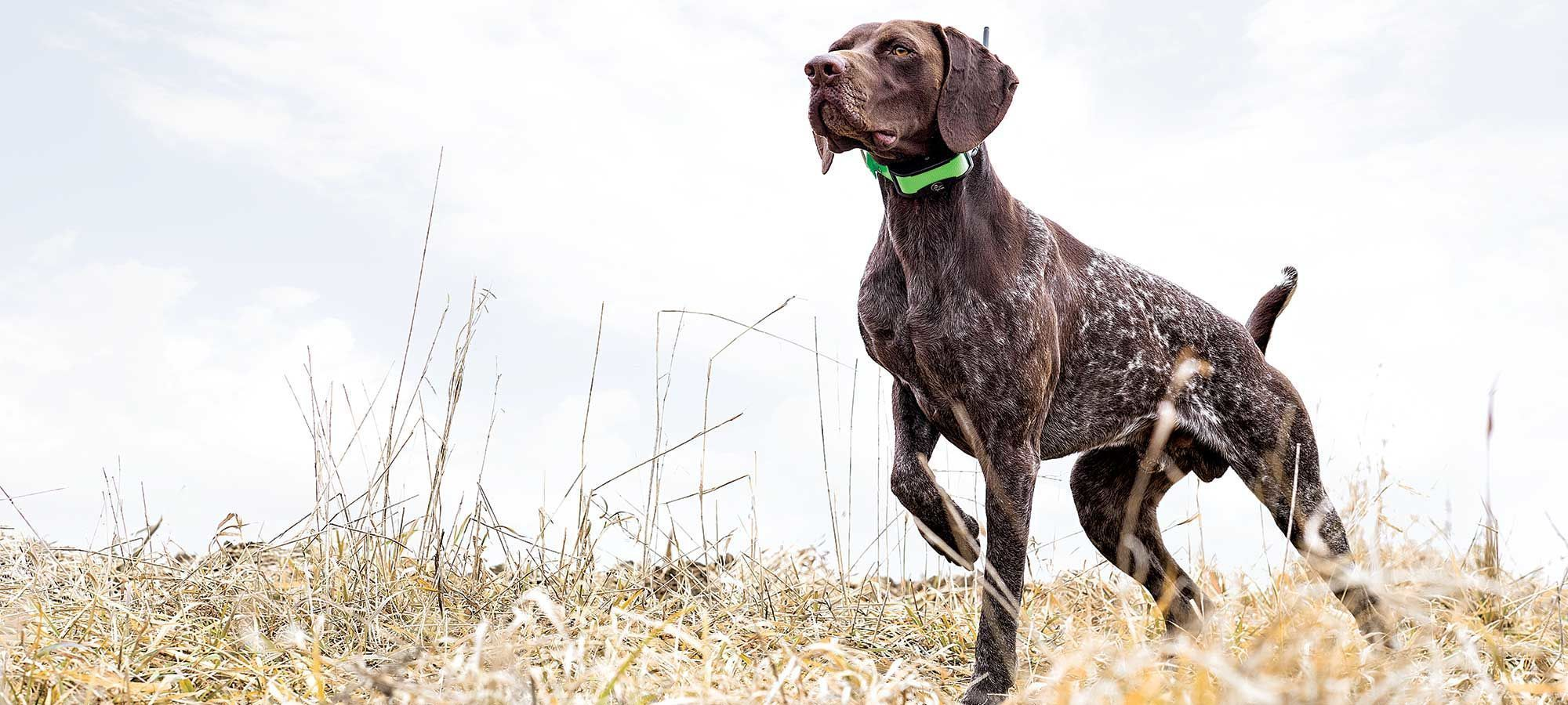 15 Tips And Tactics For A Better Hunting Bird Dog Cani Caccia