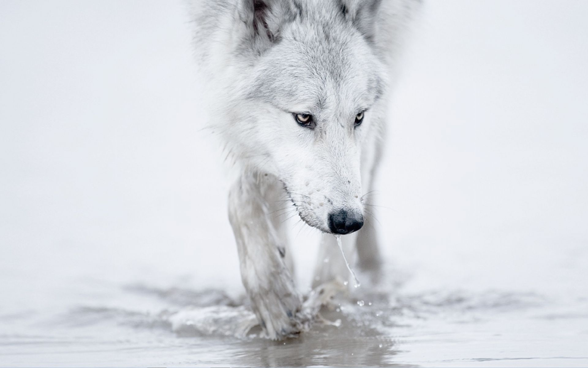 Wolf Wallpapers Best Wallpapers Wolf Walking White Wolf Wolf Wallpaper