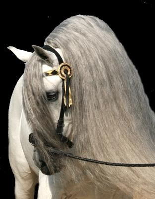 Andalusier - A beautiful horse