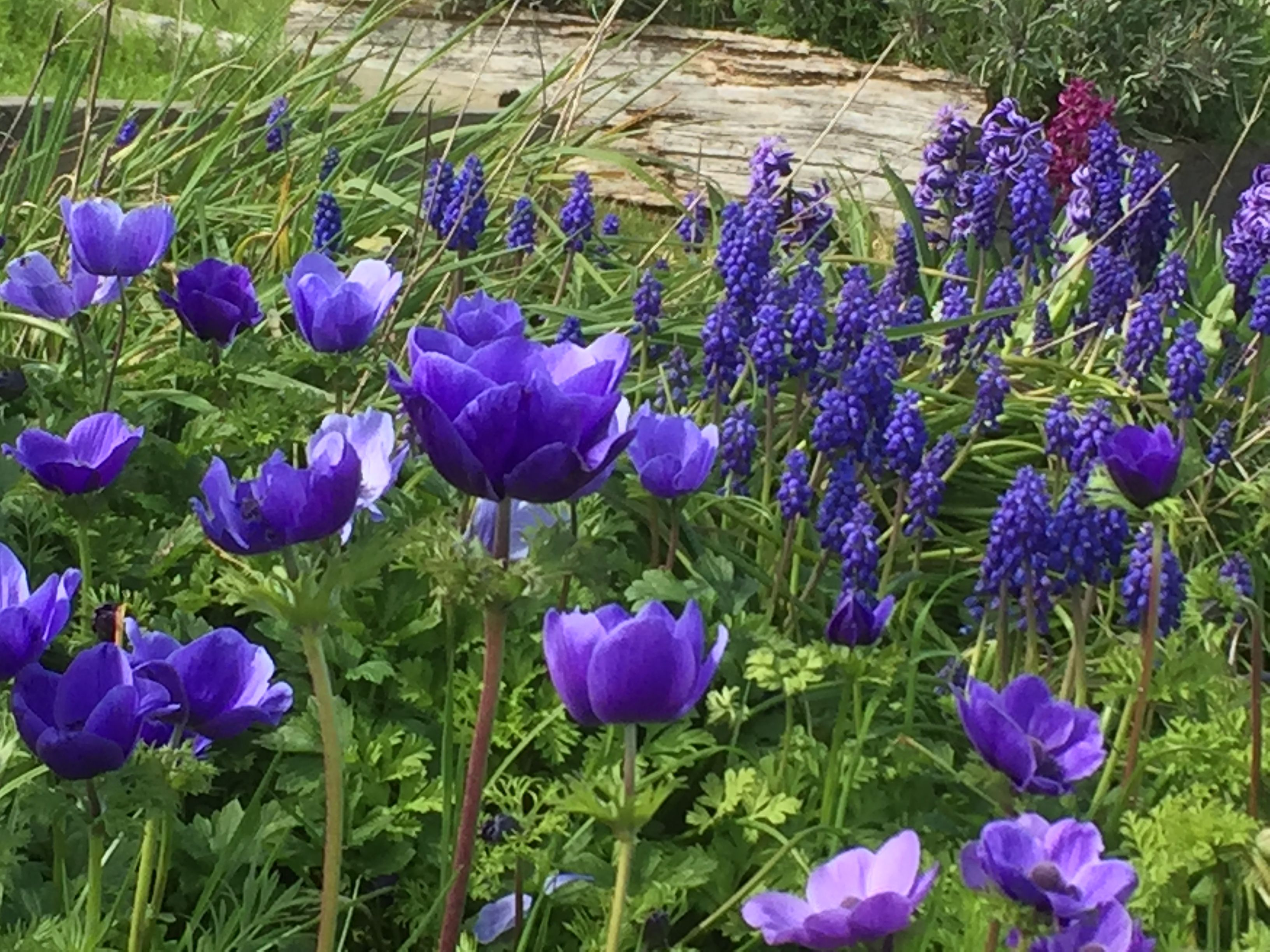 Blue Muscari And Anemone Mr Fokker Growing In The Field April Flowers Plants Muscari