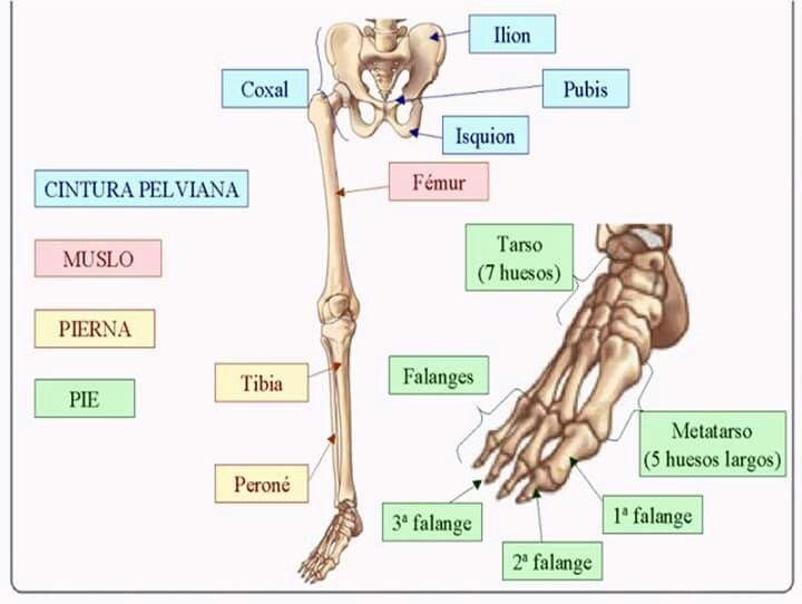 Pin de Montse CG en Anatomía | Pinterest | Anatomía, Músculo ...