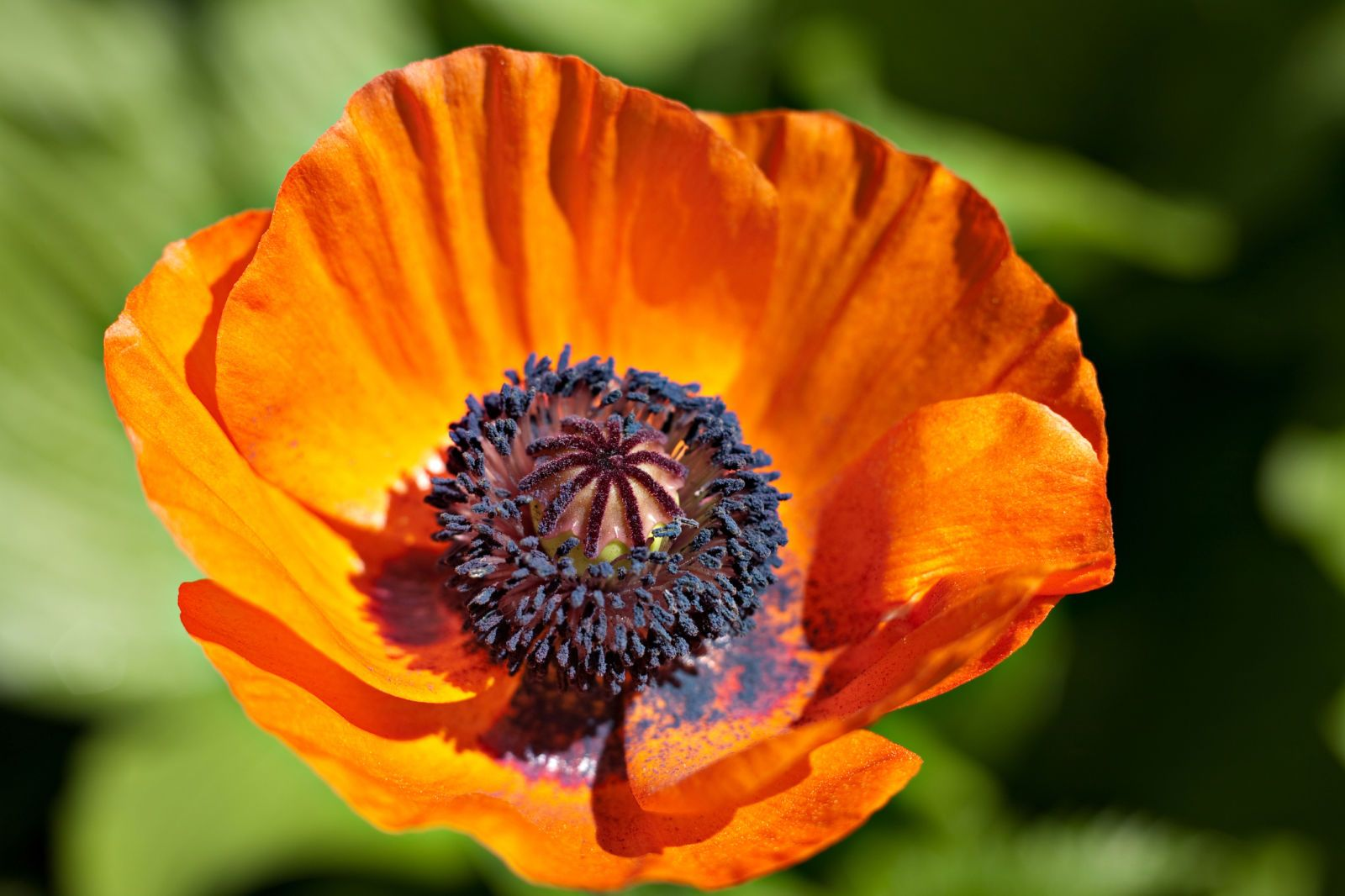Everything You Need To Know About Poppies Garden Art Flowers And