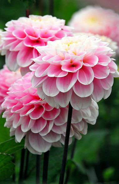 Dahlia Wizard Of Oz Soft Pink Pompom Shaped Flowers Appear In Profusion Above Lush Green Foliage From M Beautiful Flowers Amazing Flowers Pretty Flowers