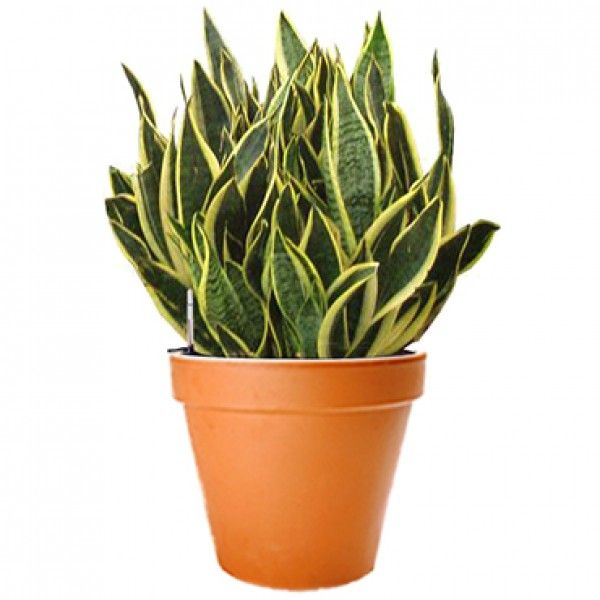Sansevieria 12 Pot Plant Delivery Nyc