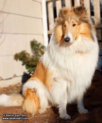 Everything About Smart Shetland Sheepdog Puppies Exercise Needs
