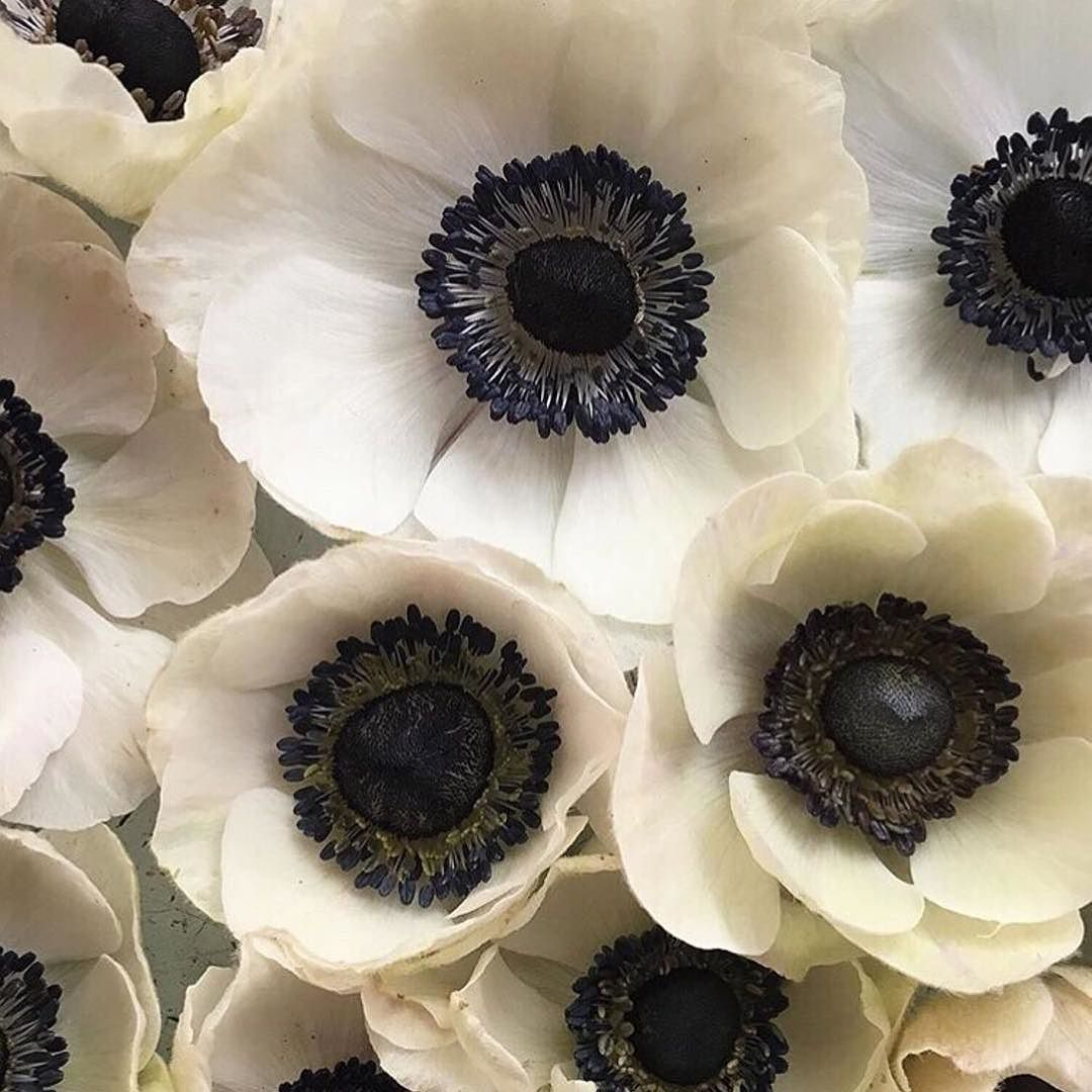 Welcome Anemone Season So Dramatic With Striking Jet Black Centres Finally Starting To Make An Appearance At The Flowe Anemone Flower Pretty Flowers Anemone