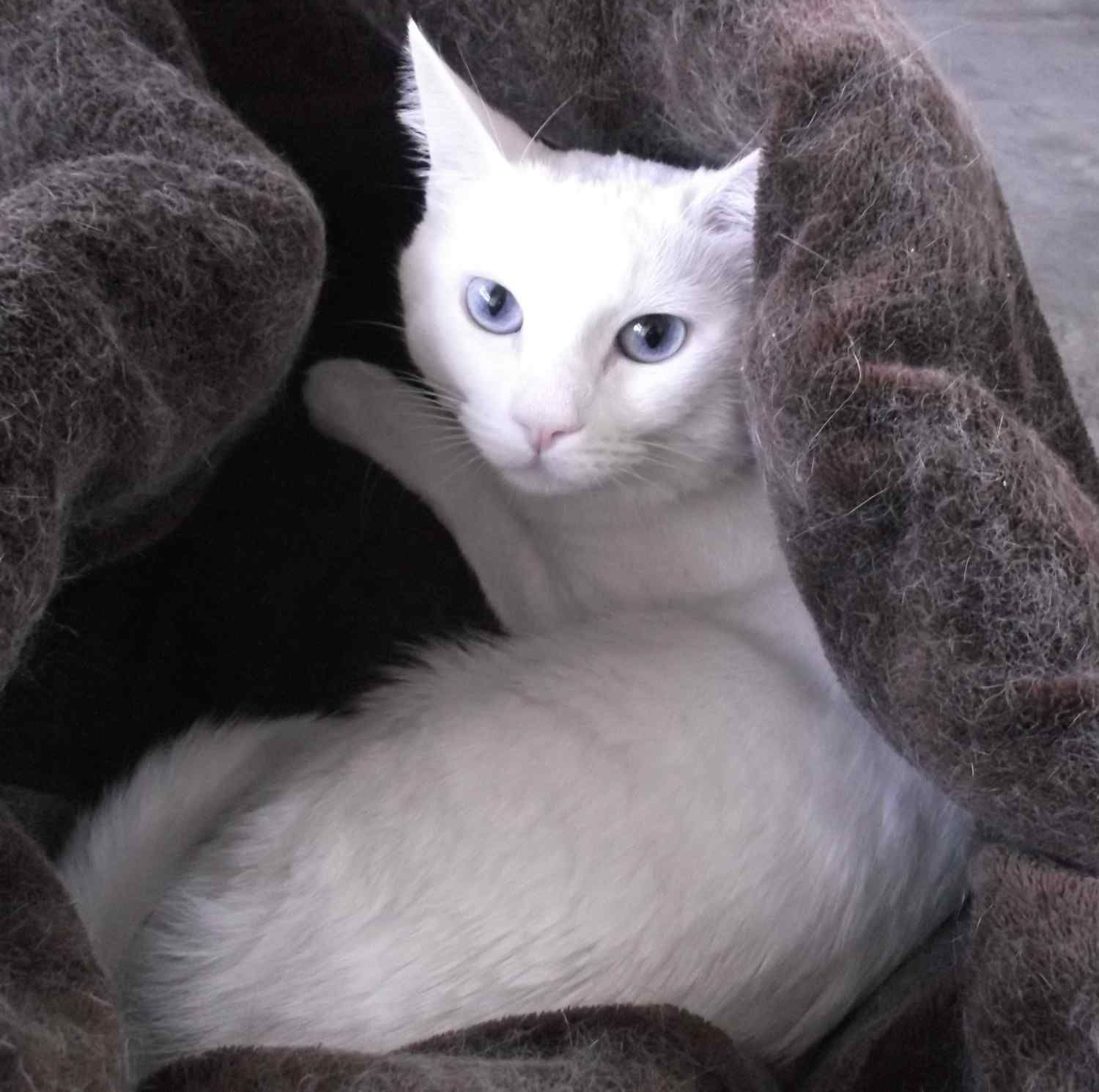 White cat Pulka needs a home meet her at the East Valley