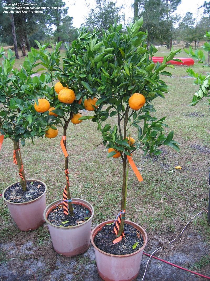 Tangerine tree do it yourself 66