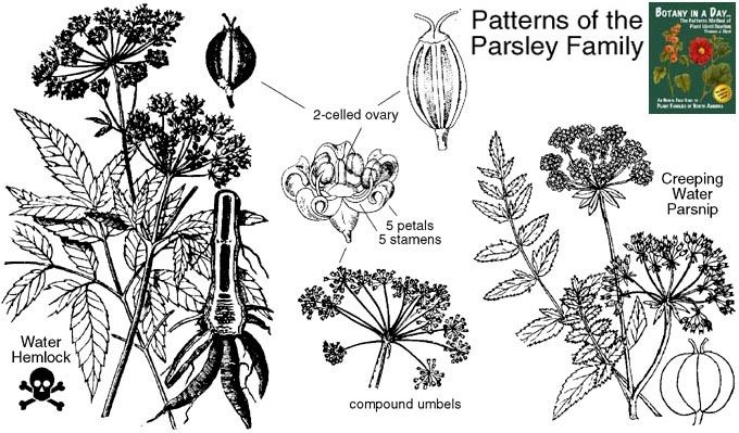 Apiaceae: Wildflowers of the Parsley or Carrot Family
