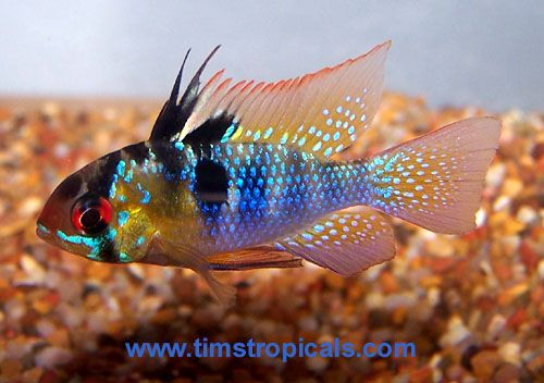 German Blue Ram Cichlid Tropical Fish Pictures Tropical Fish Aquarium Fish