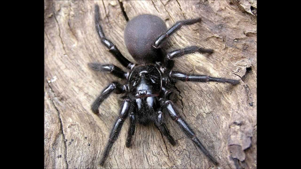 maxresdefault.jpg Funnel web spider, Poisonous spiders