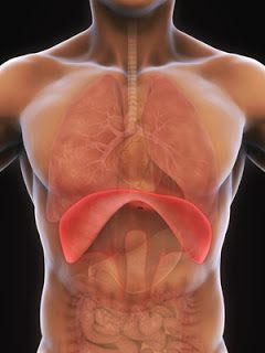 Why You Should NOT Sing From Your Diaphragm (con imágenes ...