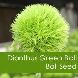 Dianthus Green Ball from Ball Seed. See more Fashion Show entries here: http://www.nationalgreencentre.org/2013_Fashion_Show.vp.html