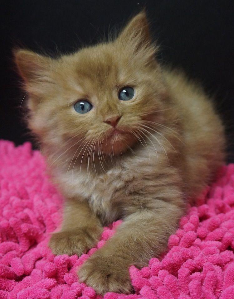 Cinnamon Ragdoll Kitten Baby Cats Kittens Cutest Beautiful Cats