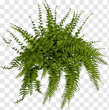 Boston Fern Plant Plant Tree Fern Shrub Fern Free Png Trees To Plant Plants Landscape Elements