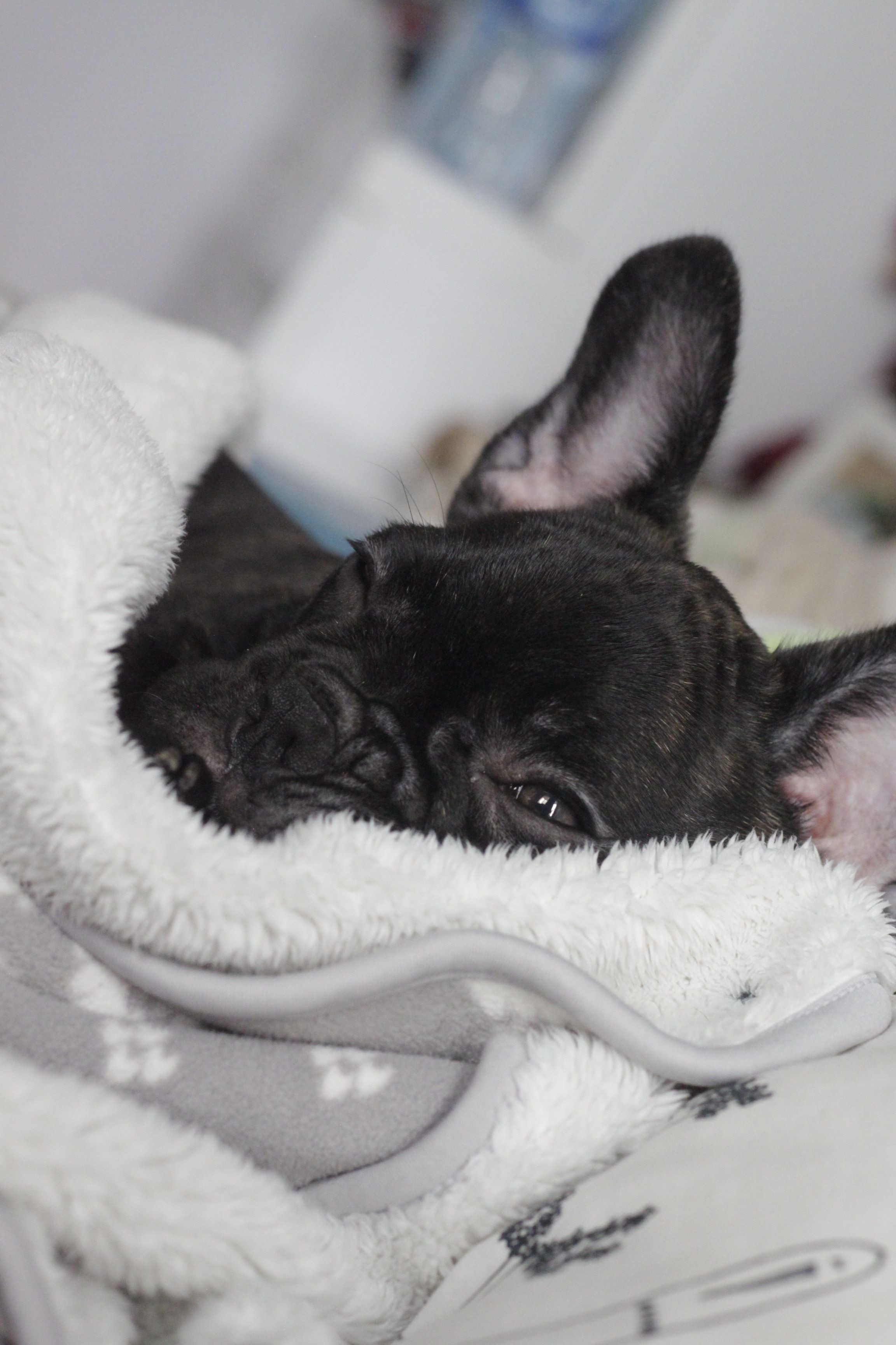 Pin By G Ed On French Bulldogs French Bulldog Puppies Cute