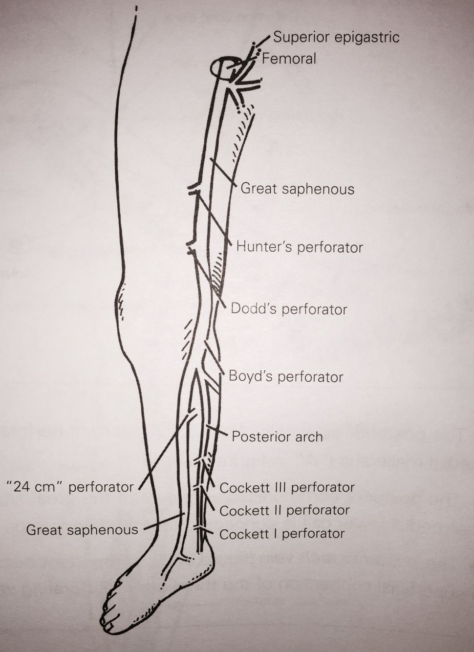 Gsv Greater Saphenous Vein And Canals Us Venous Vascular