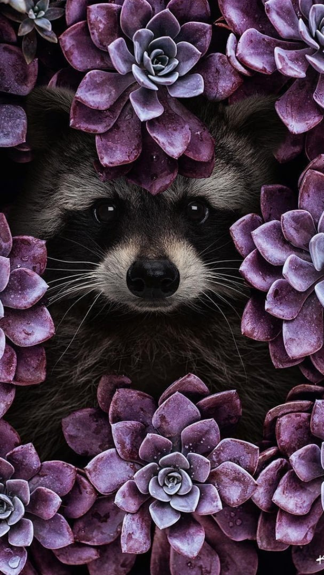 Raccoon � wallpaper background lockscreen iPhone raccoon dog - Raccoon � wallpaper background lockscreen iPhone raccoon dog - #animalwallpaper #animalyoudidn'tknowexisted #Background #cutestbabyanimals #dog #farmanimals #iphone #lockscreen #raccoon #wallpaper #wildanimals