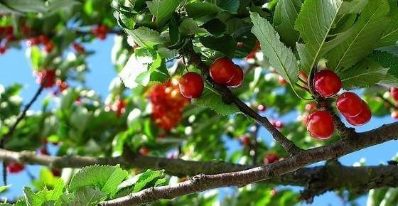 Types of Red Berries That Grow on Trees or Shrubs: Identification Guide with Pic...#berries #grow #guide #identification #pic #red #shrubs #trees #types