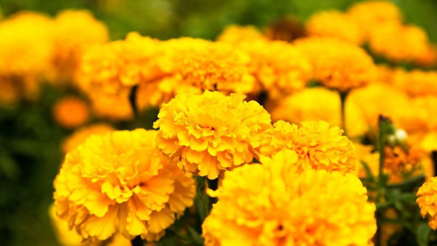 Fall Plants Perfect for Pots #gnats Marigold #gnats Fall Plants Perfect for Pots #gnats Marigold #gnats