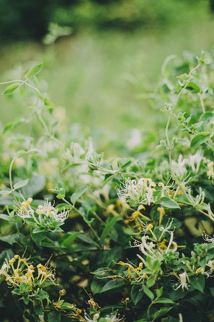 Foraging honeysuckle for cordial by Beth Kirby | {local milk}, via Flickr.