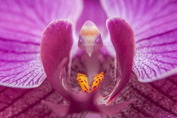 (Phalaenopsis)