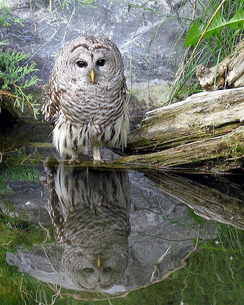 pagewoman:    source:pinterest.com  Reflective Owl Reflected……