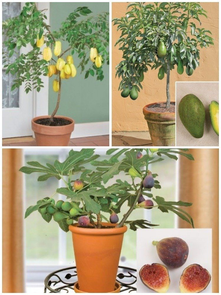 For Potted Fruit Trees Delivered To Your Door Look No Further Than Logee S Which Specializes In Fruiting Rare And Tropical Plants