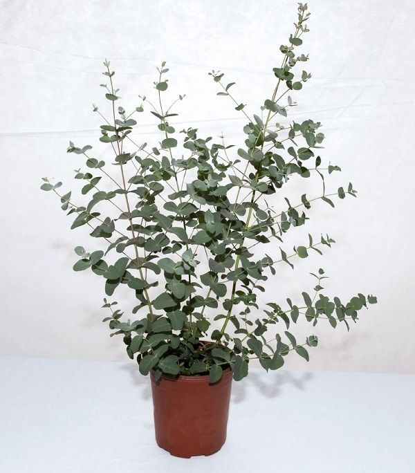 34 Poisonous Houseplants For Dogs And Cats Eucalyptus Plant Indoor Plants Silver Dollar Plant