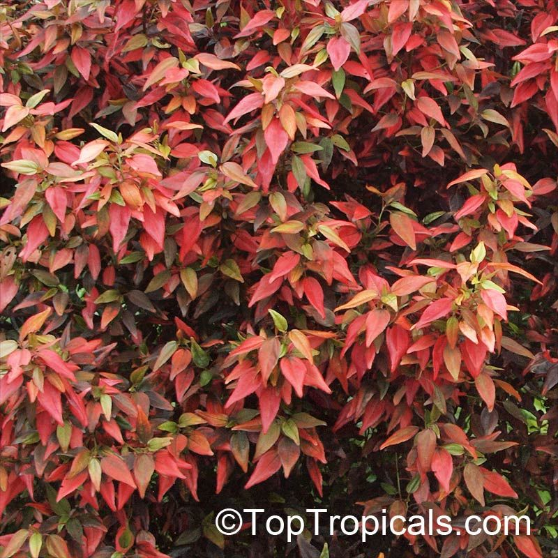 Acalypha Inferno Flame Copper Leaf Acalypha Plants Plant